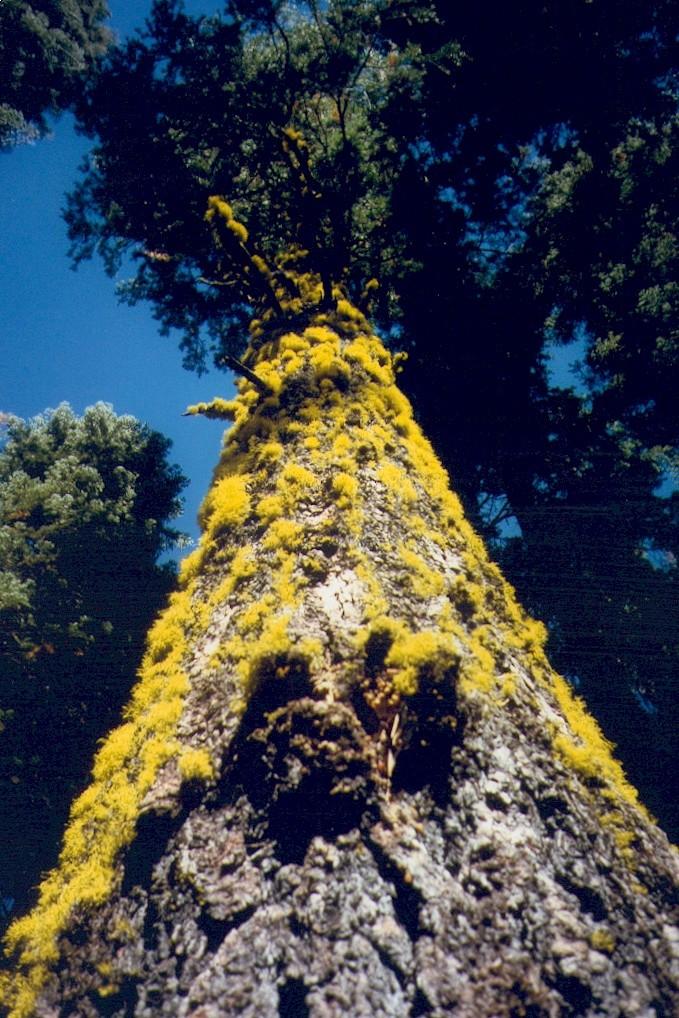 Arbre - Vallée du Yosemite