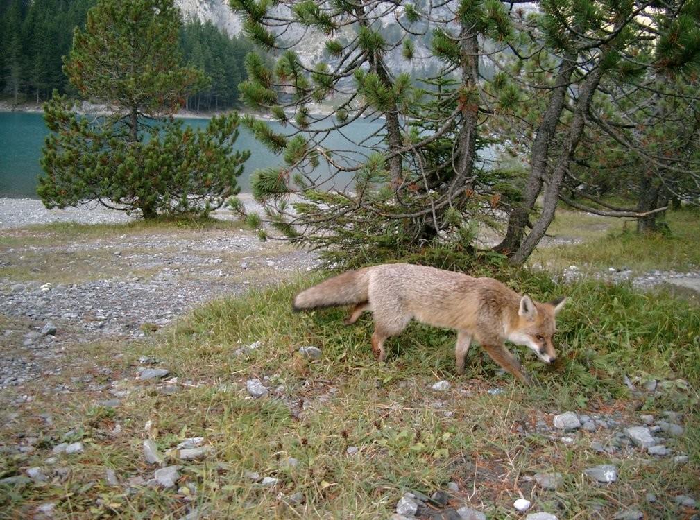 Le renard de l'Oeschinensee