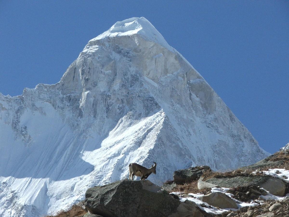Ibex devant le Shivling (6540m)