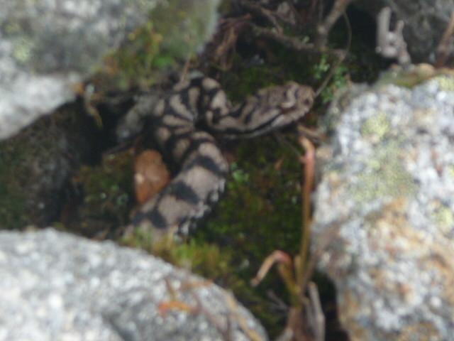 Notre vipère de 60cm à 2000m d'altitude...surtout ne pas les tuer,elles sont trés peureuses et trés utiles ds la nature