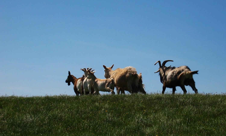 chèvres aux Audouards