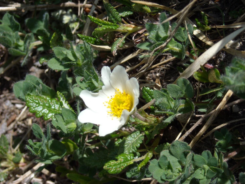 Pulsatilla alba, Ranunculaceae