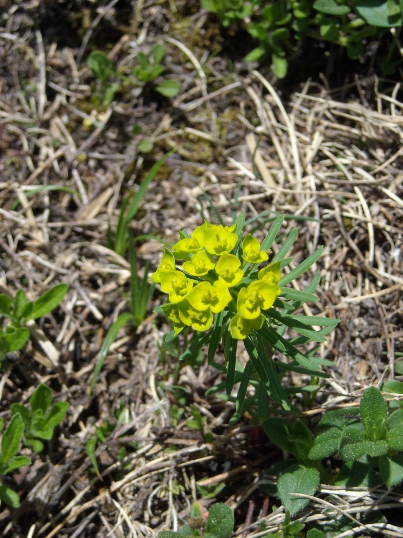 Euphorbia cyparissias, Euphorbiaceae
