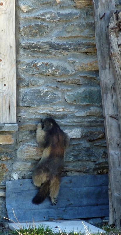 Marmotte grimpeuse taillant une prise avec les dents