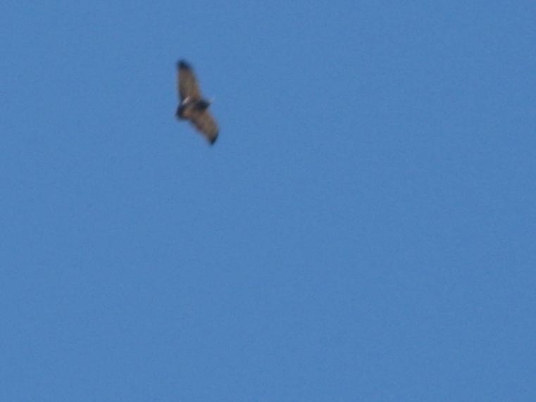 Aguila Mora