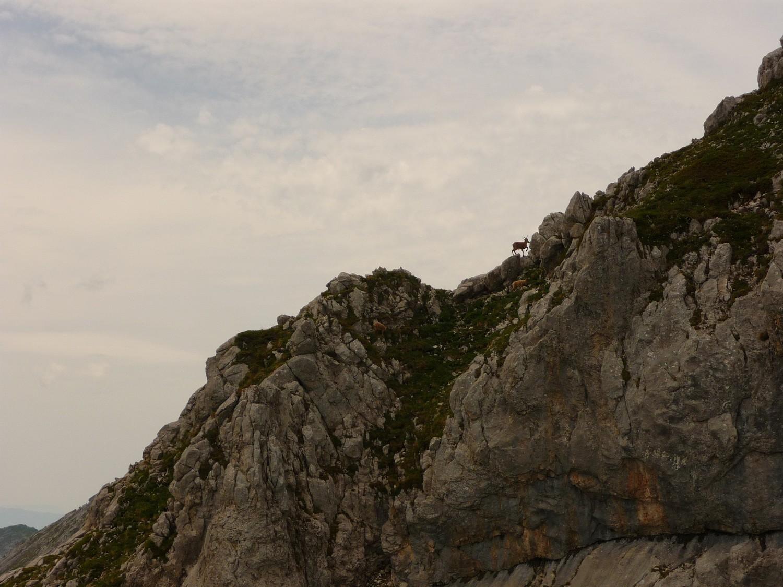 Un bouquetin a peu près au sommet de Tchao Godillo [mais par où passent-ils ?]