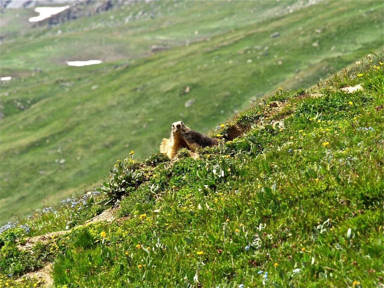 Marmotte et son petit dans le vallon de la Rocheure