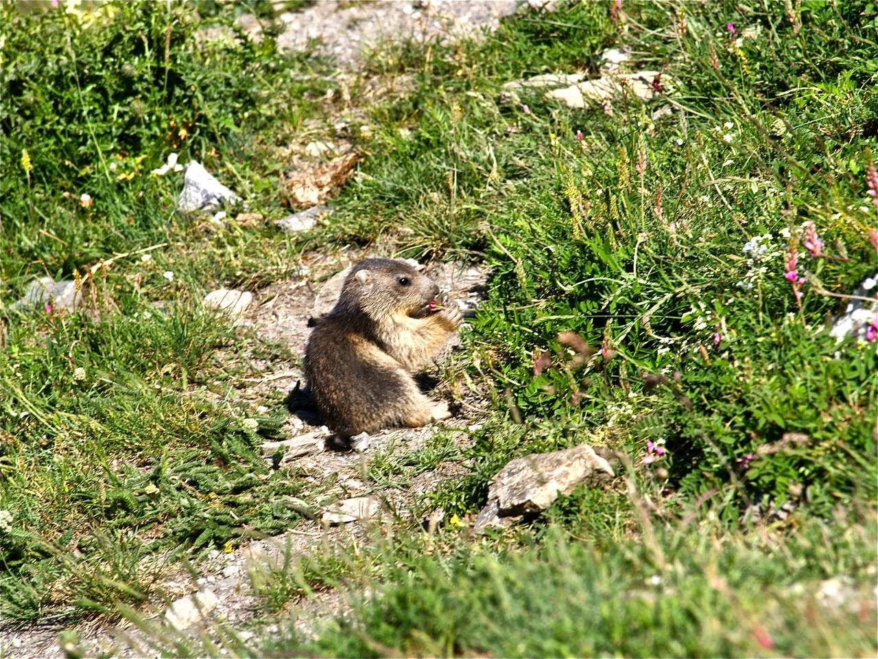Bébé marmottes dans le vallon de la Rocheure