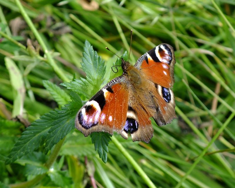 Papillon idiot qui butine les feuilles