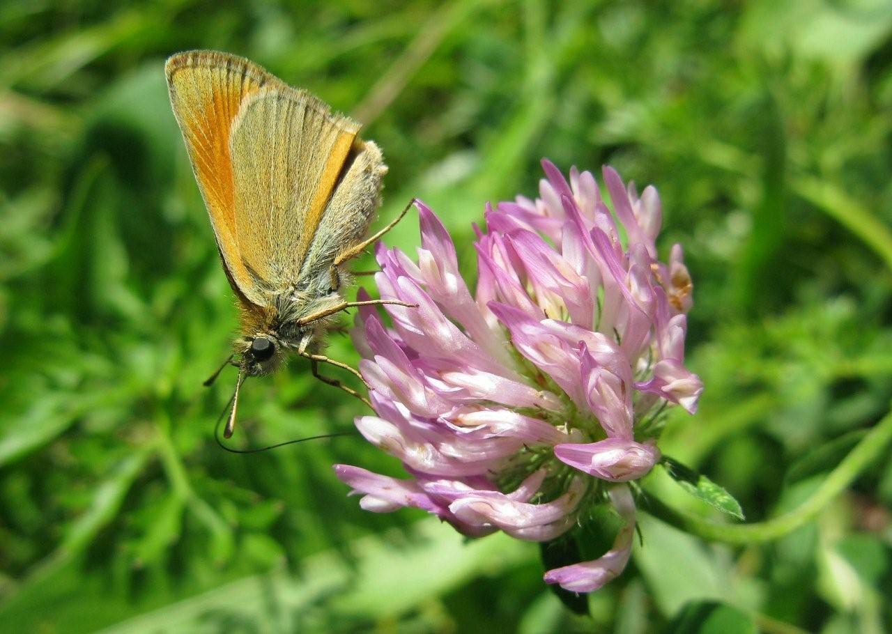 Papillon Hespérie ochlodes venatus sylvaine