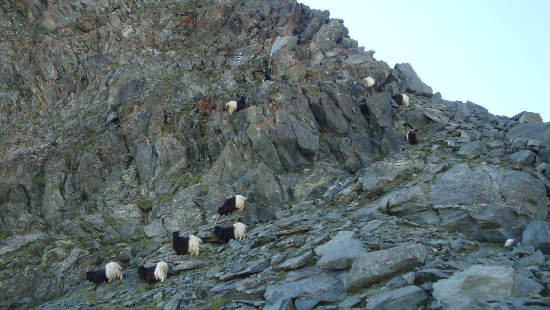 Chèvres alpinistes...Britannia