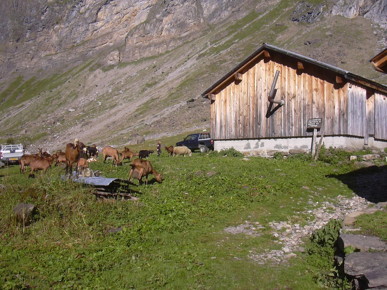 les chèvres à Salvadon