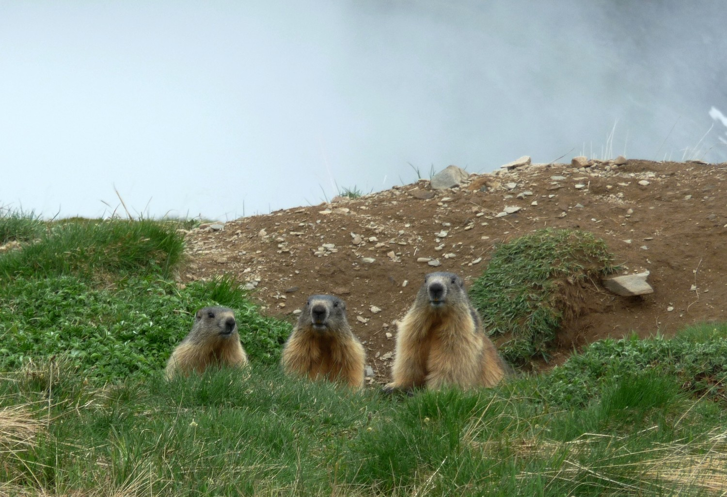 Marmottes, Taillefer