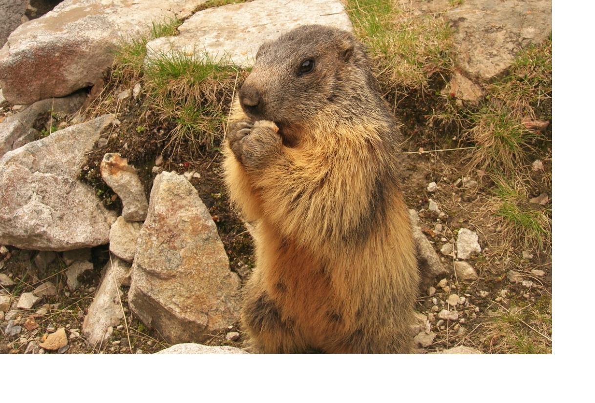 Marmotte Gourmande