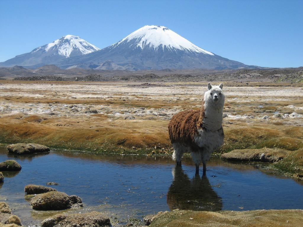 Parinacota et Pomerape, avec l'alpaga qui prend la pause