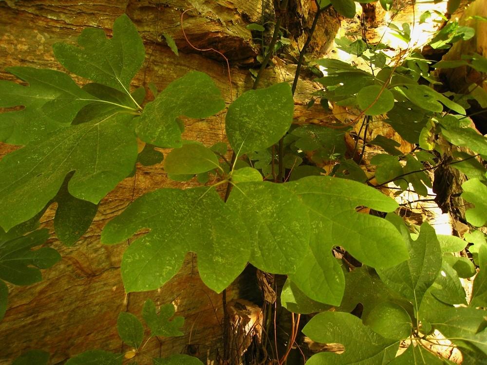 Sassafras (Sassafras albidum), Red River Gorge, USA
