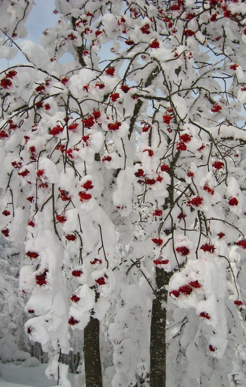 Sorbier (?) sous la neige : un air de Noël