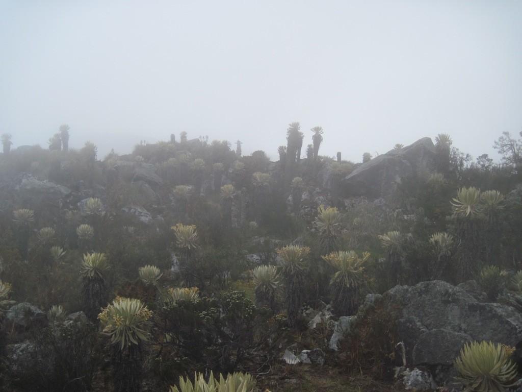 Frailejones dans le brouillard