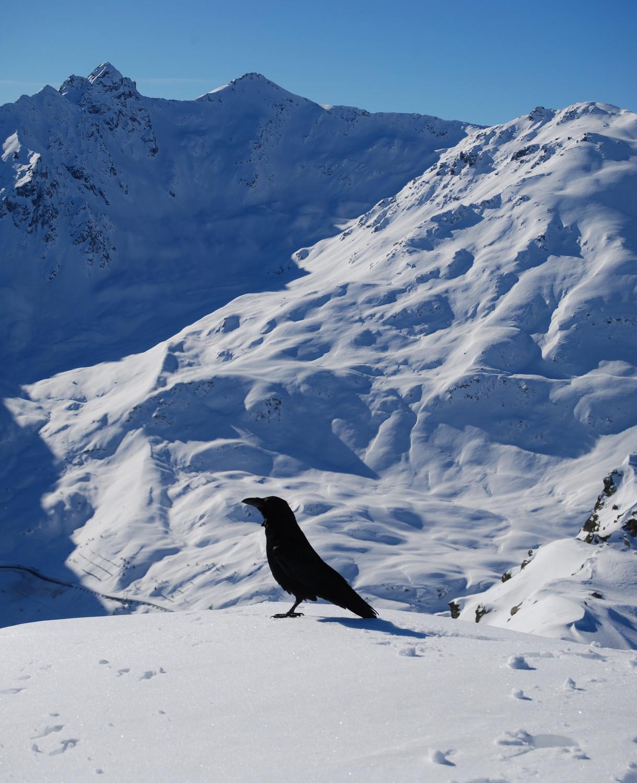Corvo imperiale in cima al Dosso Resaccio 2719 m