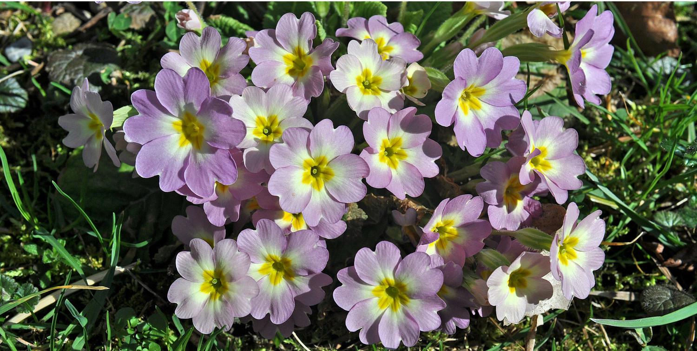Toujours le printemps mais au jardin ; primevères ...