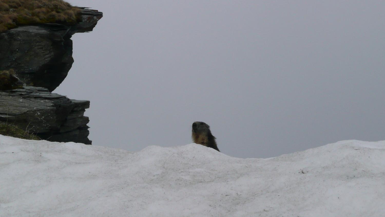 Marmotte à la Brèche du Dérochoir