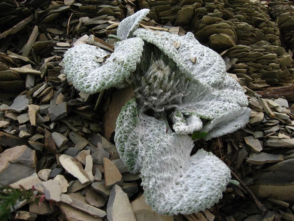 bérardie laineuse (Berardia subacaulis)