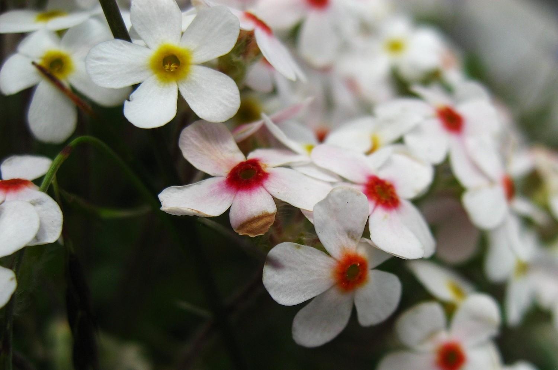 androsace velue (Androsace villosa)