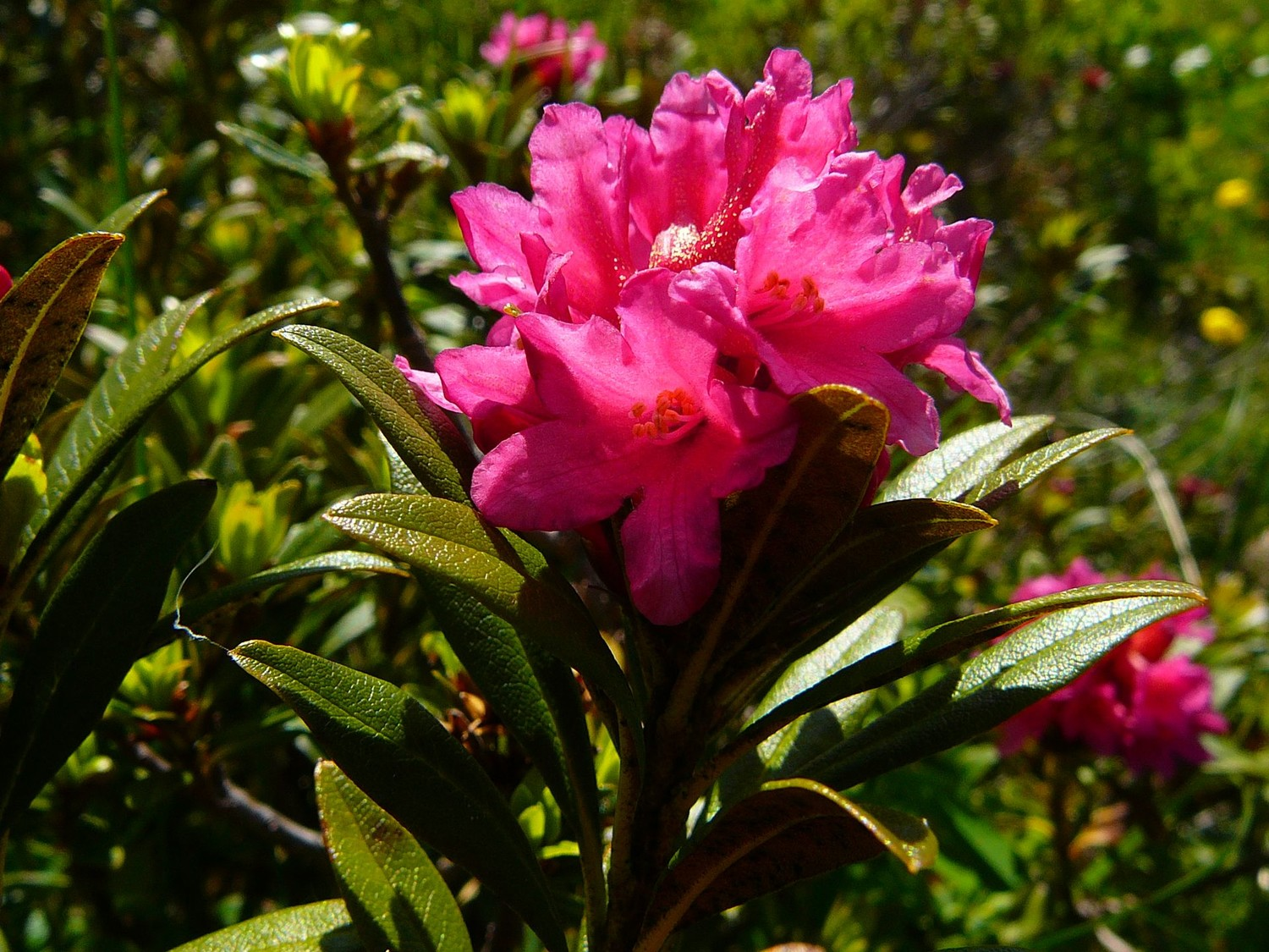 Rhododendron férrugineux