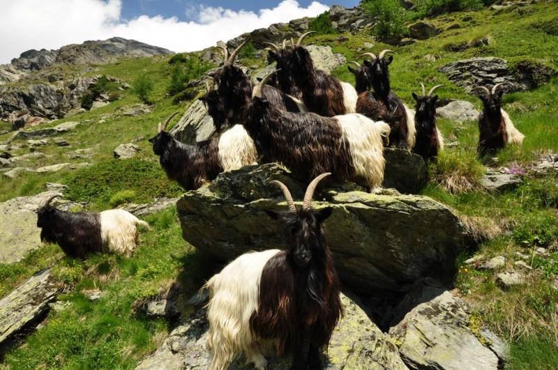 Chèvres bicolores
