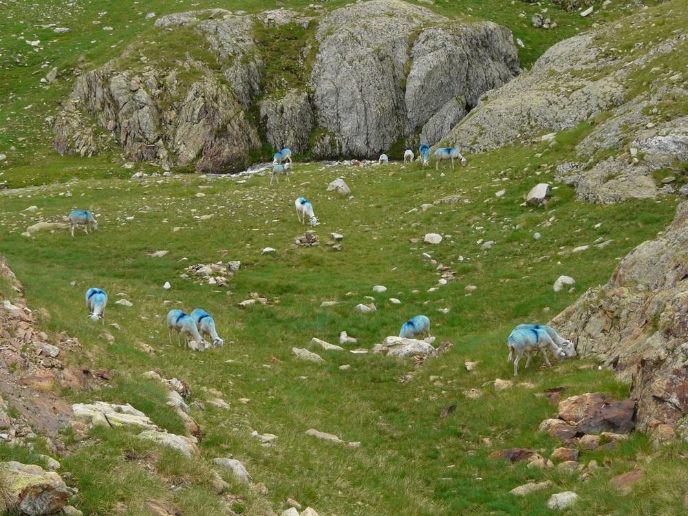 Moutons bleus