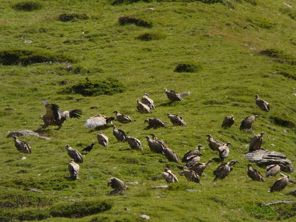 Réunion de vautours