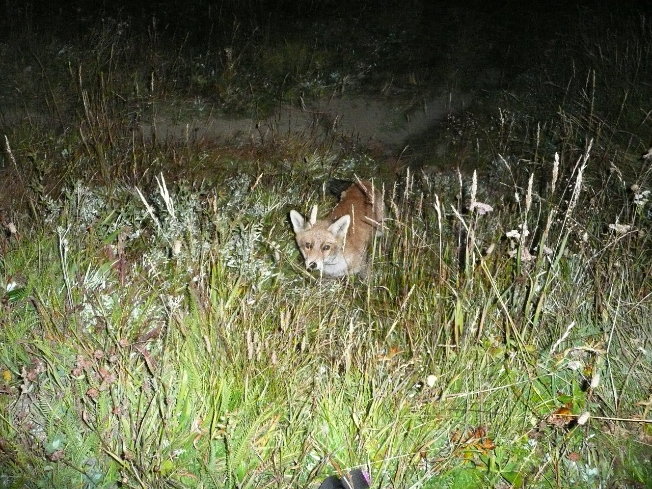 renard farouche