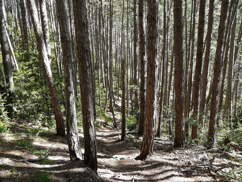Le parcours passe par de belles forêts de pins d'alep et pins noirs