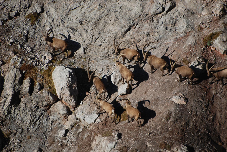 Stambecchi in Valle del Saliente a circa 2600 m.