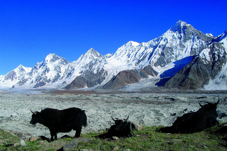 Des yaks paissent paisiblement sur un balcon de l'Hispar, en face d'une impressionnante succession de faces glaciaires.