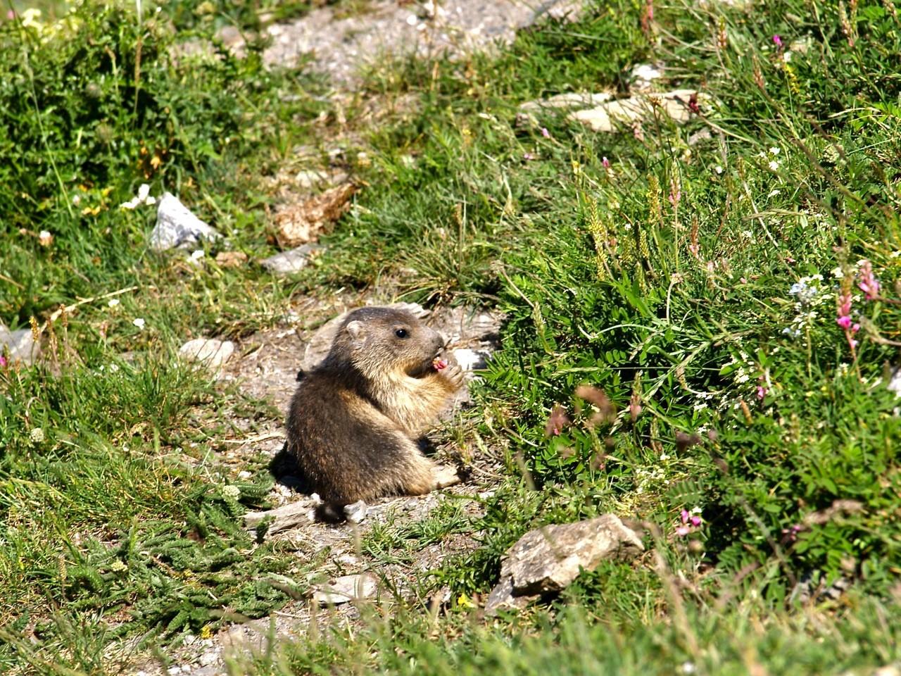 Marmotton du vallon de la Rocheure - Miam
