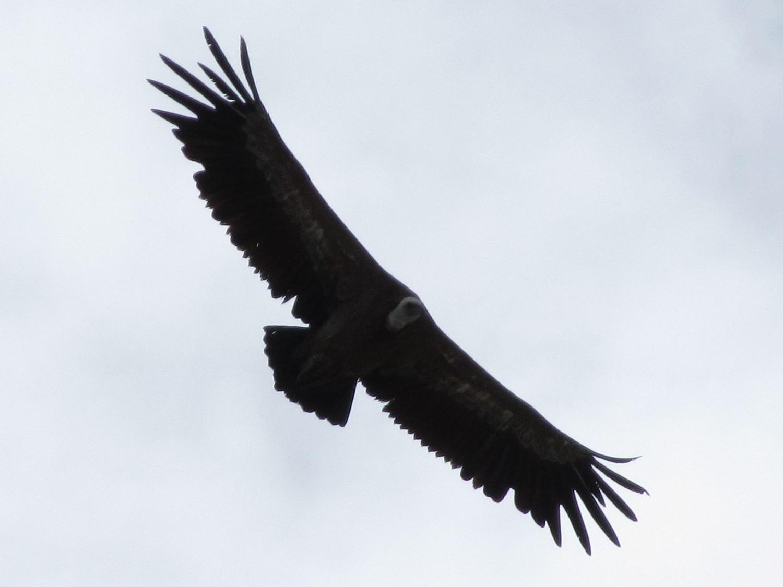 Un splendide vautour fauve (?) pour nous accueillir au sommet