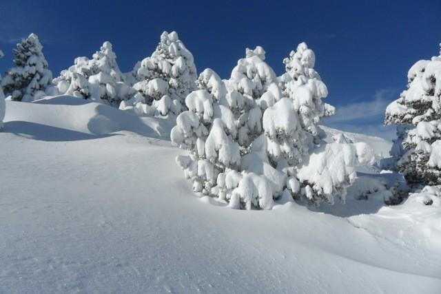 les pins crochets ou s'agrippe la neige