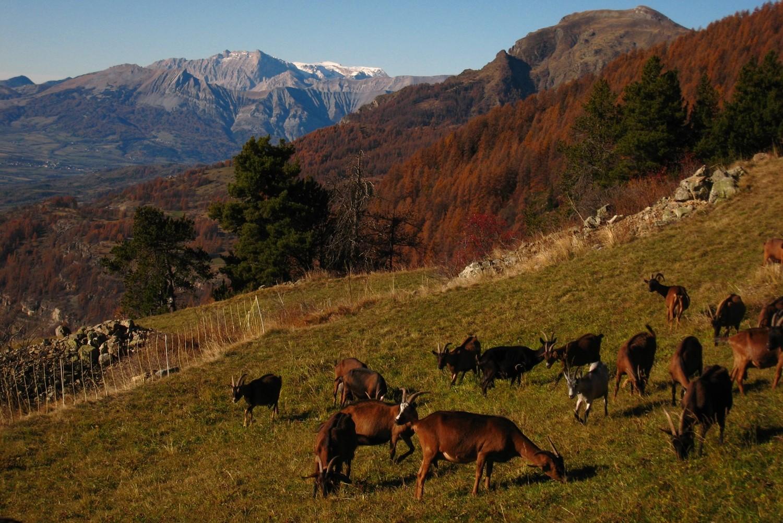 Chèvres du Champsaur
