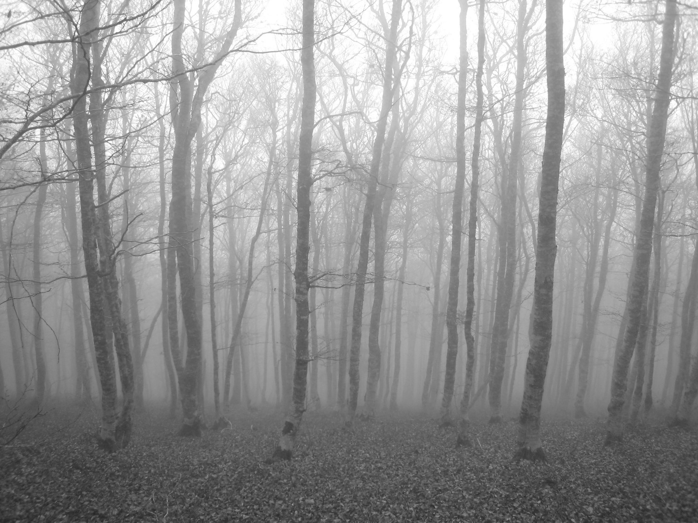 hêtres dans le brouillard à la descente