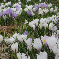Champ de Crocus