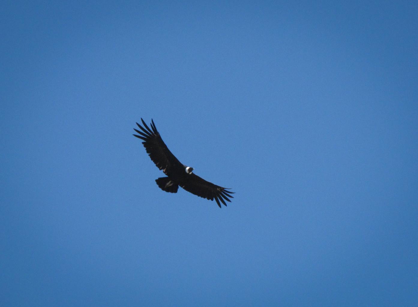 Condor des Andes, Argentine