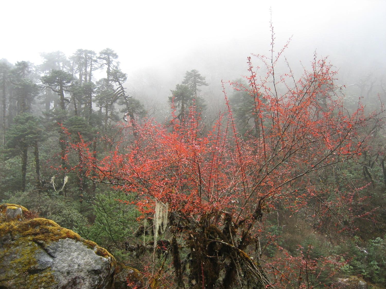 Arbuste de la Simbuwa Khola (Népal)