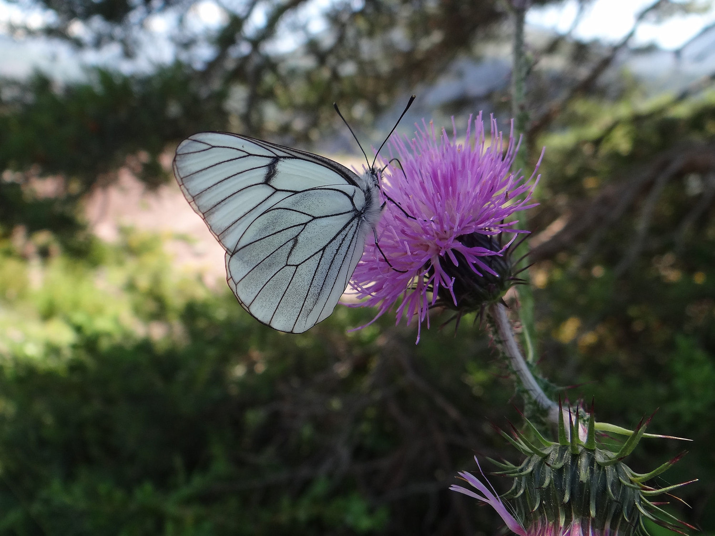 Après la chenille, le papillon (piéride ?)