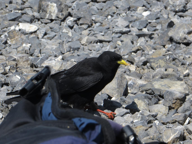 Un Chocard au Col des Paresseux, qui voulait partager notre picnic