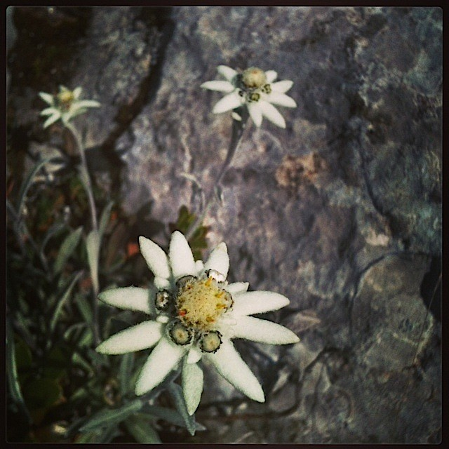Des Edelweiss quoi
