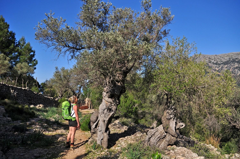 mon bel olivier
