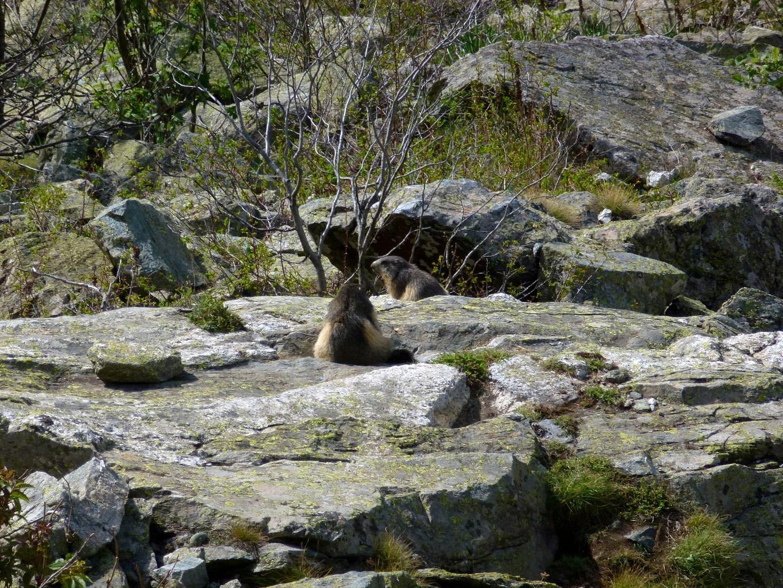 Marmottes sous le paravalanche