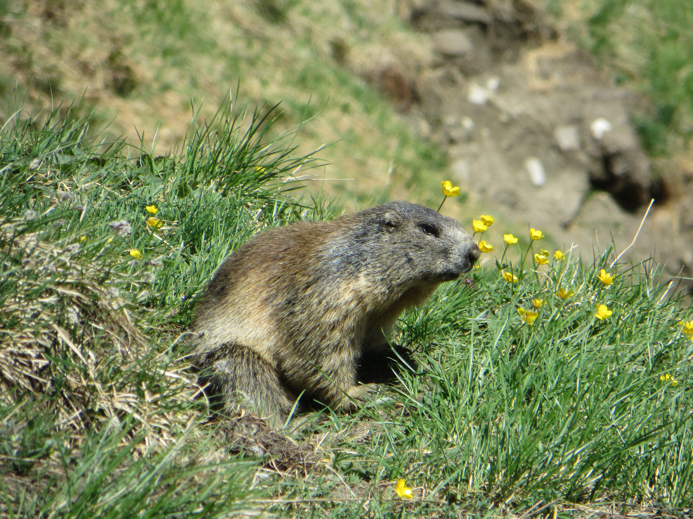 Marmotte - in the flowers