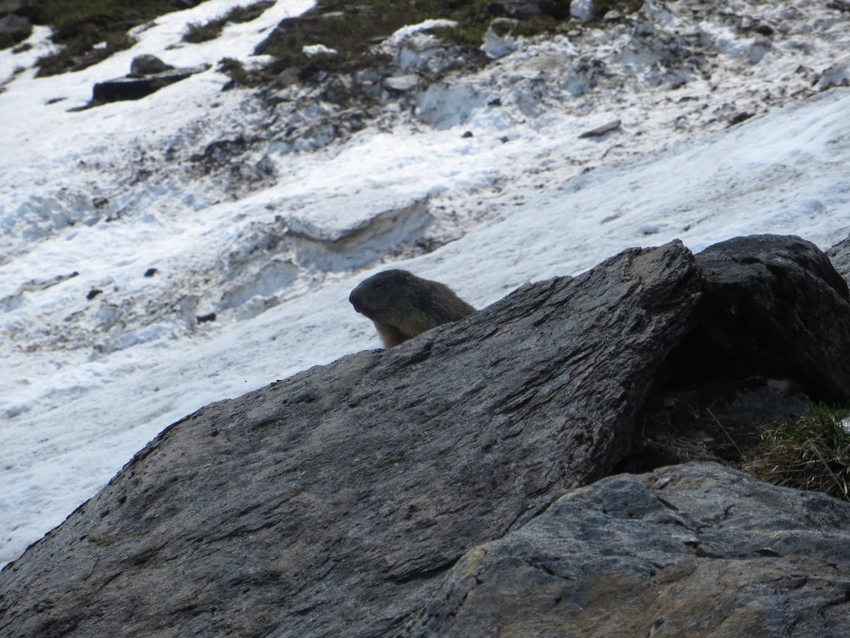 Marmotte - guarding the snow